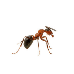 common red ant - ant pest control