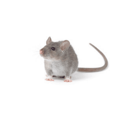 grey mouse - rodent control and extermination