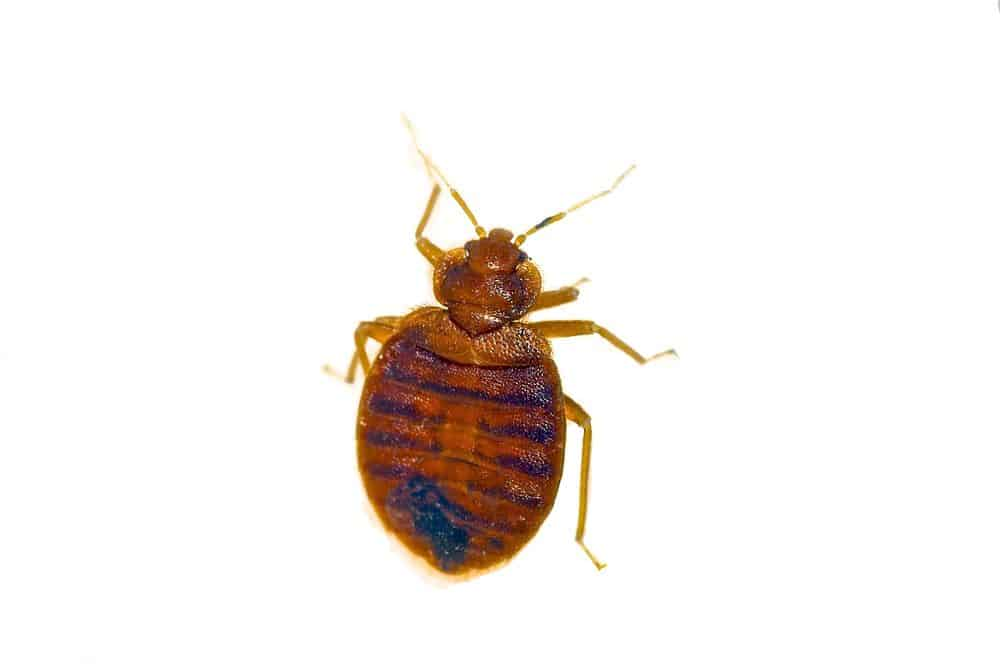 What Do Bed Bugs Look Like & Pests They're Often Confused With |  Terminators Pest Control