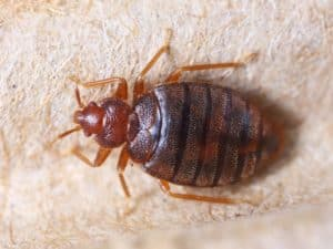 image of bed bug on carpet