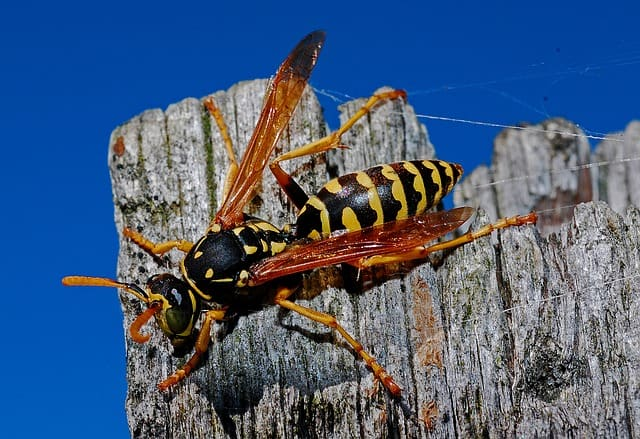 wasp and hornet extermination philadelphia