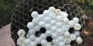 wasp nest with eggs cheltenham pennsylvania